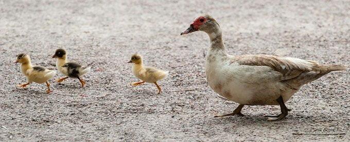 duckling-proud-duck