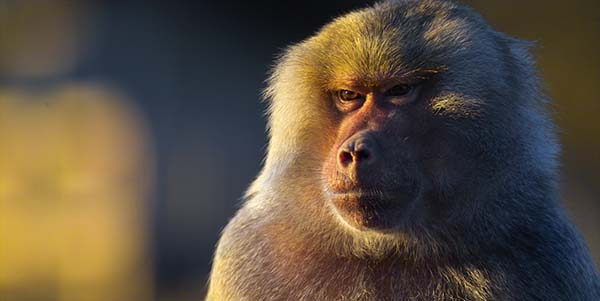 Baboon staring angrily